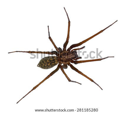 hairy house spider  tegenaria...