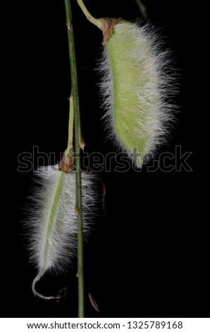 Hairy pods of hairy-fruited broom (Cytisus striatus). Cerro Ñielol Natural Monument. Temuco. Araucania Region. Chile. #1325789168
