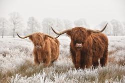 Hairy Scottish highlanders in a natural winter landscape of a national park in Drenthe region of The Netherlands