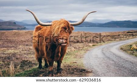 Hairy Scottish Yak on the road, Isle of Skye