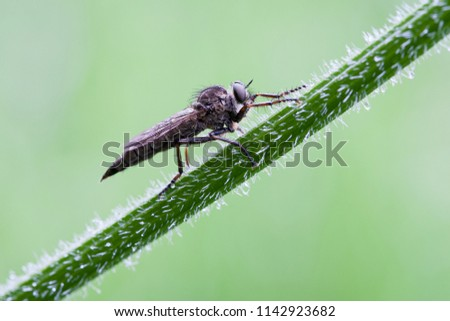 Hairy stalk and hairy insect. A hairy fly sits on a hairy plant stem. #1142923682