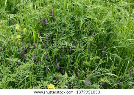 Hairy vetch (Vicia villosa)