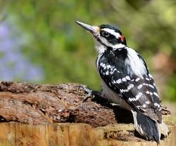 Hairy woodpecker bird on a log