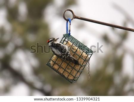Hairy Woodpecker (male) #1339904321