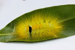 Hairy worm Caterpillar on the leaf Macro shot of big yellow hairy caterpillar crawling