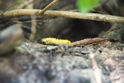 Hairy yellow caterpillar, wild nature, insect becomes butterfly