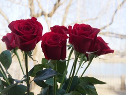Half a dozen long-stemmed red roses, soft background
