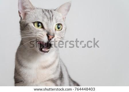 Half body cat portrait in studio. American shorthair cat opening his mouth.