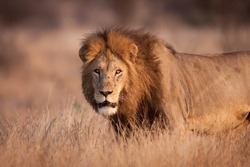 Half body portrait of a male lion with beautiful mane in warm afternoon light in Kruger Park South Africa