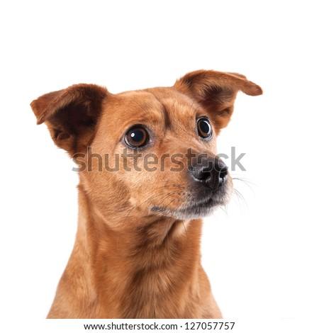 Half-breed dog isolated on white background.