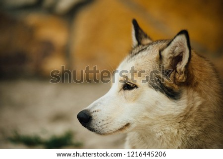 Half-face picture of the siberian husky wolf color and different eyes. Dog looking ahead. Best friend of people.