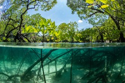 half frame photo of the mangrove forest show the trunk and roots under the water