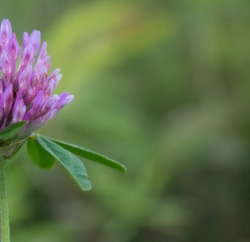 Half lilac clover flower on blurred green background