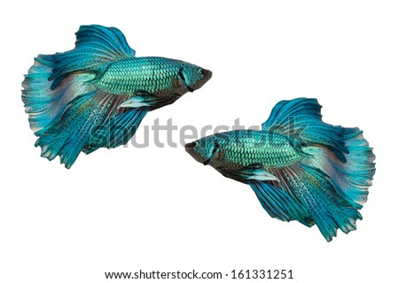 Half Moon fighting fish isolated on white background