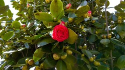 Half-opened camellia red bloom contrasting with glossy, green foliage with a few green flower buds. Camellia japonica Kramer's Supreme half-opened red rose-like flower against thick,glossy gree leaves