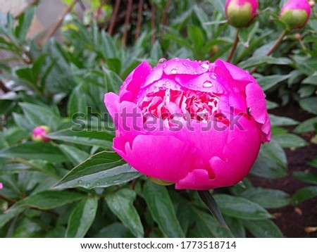 Half-opened peony in inclement weather with raindrops on the petals