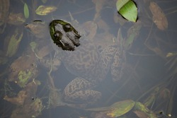 Half-submerged American Bullfrog in clear pond water