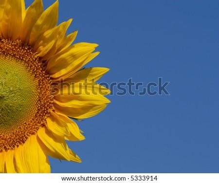 Half Sunflower #5333914