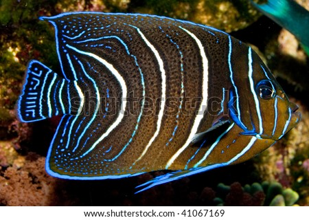halfcircled or koran angelfish