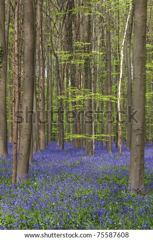 Hallerbos, woods covered with a blanket of wild bluebells, leading to a unique colorful experience in this fairy tale primeval