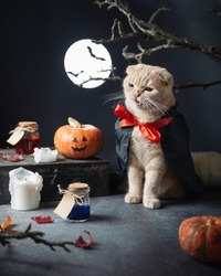 Halloween Cat vampire with teeth wearing dracula costume, pumpkins, jack o lantern, autumn leaves and moon on the background. Copy space. Halloween party