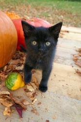 Halloween concept.black cat and pumpkins set on blurred garden background.