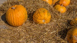 Halloween decorations from pumpkin in hay,ripe pumpkin harvest.