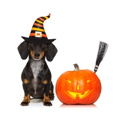 halloween devil sausage dachshund dog  scared and frightened, isolated on white background, pumpkin to the side, wearing a witch hat