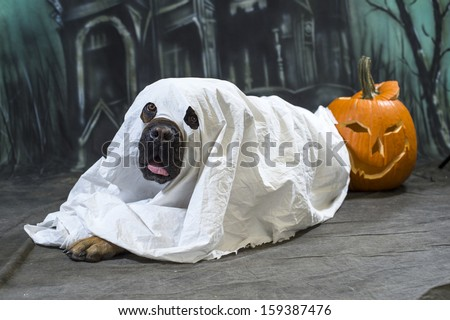 Halloween Dog wears a sheet, disguised as a ghost costume