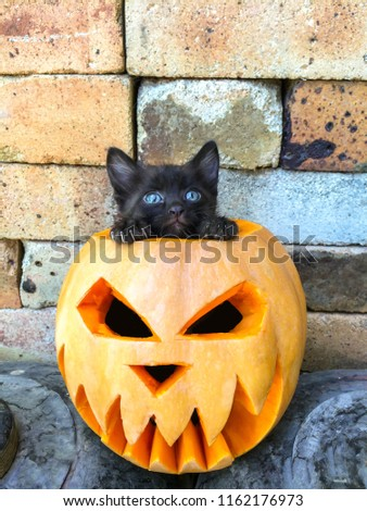 Halloween feast day of All Saints pumpkin carved in the form of a scary face black cat fear-averse to decorating the background