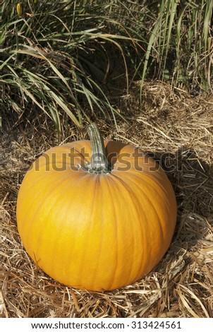 halloween garden of pumpkins in october thanksgiving #313424561