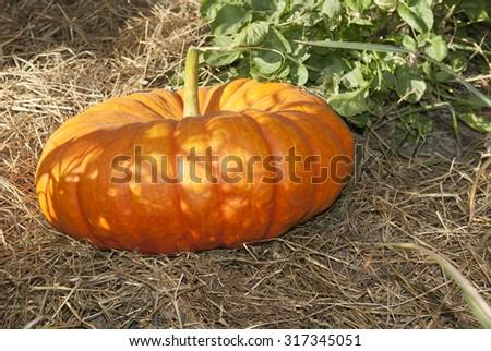 halloween garden of pumpkins in october thanksgiving #317345051
