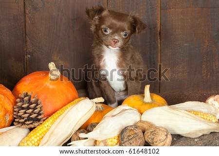 Halloween picture of a three months old chihuahua puppy dog with pumpkins