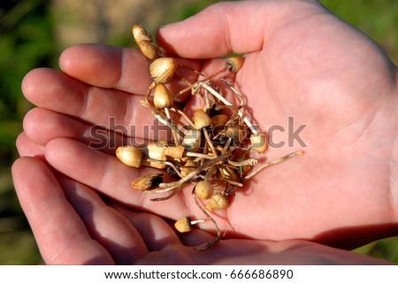 hallucinogenic mushrooms #666686890