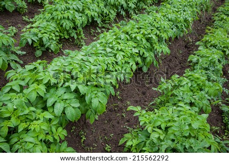Halm of young potato in a kitchen garden
