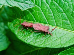 Halyomorpha halys beetle on a green potato leaf. Pentatomidae beetles. Arthropods. Animal insect. Macro photography. Potato leaves. Wildlife. Marital period.