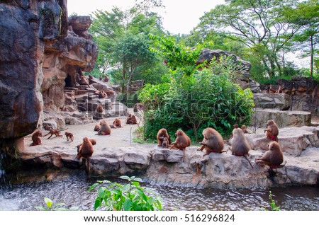 Hamadryad monkeys family are sitting on the stone, Singapore zoo - Shutterstock ID 516296824
