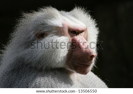 Hamadryas baboon looking to the sunlight