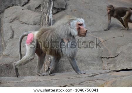 Hamadryas baboon monkeys