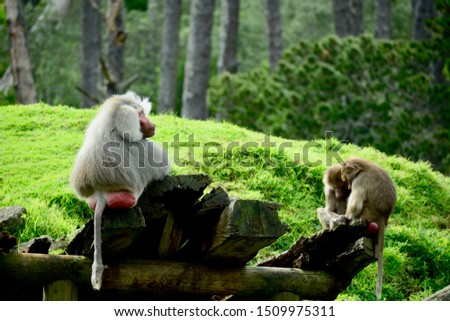 Hamadryas Baboon (Papio hamadryas), also referred to as Sacred Baboons. They belong to a group of monkeys found in Africa and Asia (Old World monkeys).