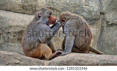 Hamadryas baboons. Two baboons sit on a rock and take care of each other. Wildlife. Close-up portrait. Wild animals.