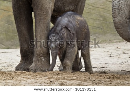 HAMBURG - APRIL 27: First public appearance of the baby elephants ASSAM at the zoo Hagenbeck on April 27, 2012 in Hamburg.