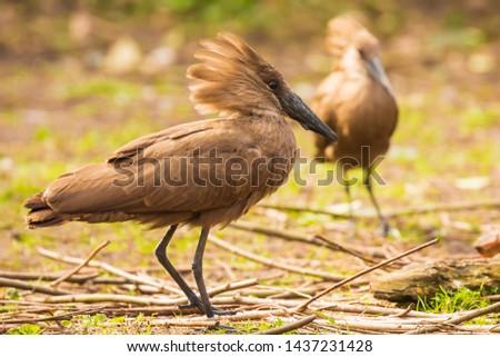 hamerkop Scopus umbretta is a brown medium-sized waterbird with long billin. Africa south of the Sahara #1437231428