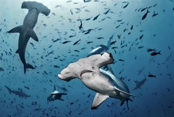 Hammerhead shark, Cocos island, Costa Rica/Close Contact