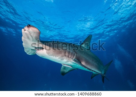 hammerhead shark in clear water of miami #1409688860