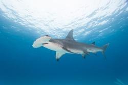Hammerhead shark with blue water in background.  Sphyrna mokarran