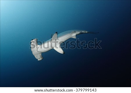 Hammerheads of Daedalus Reef, bottom view, Red Sea #379799143