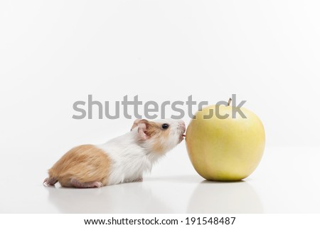 Hamster and apple. Very hungry hamster and apple