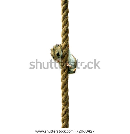 Hamster clinging on a rope