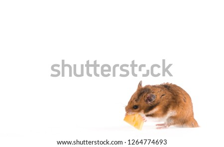 hamster eat cheese #1264774693